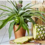 Домашний ананас