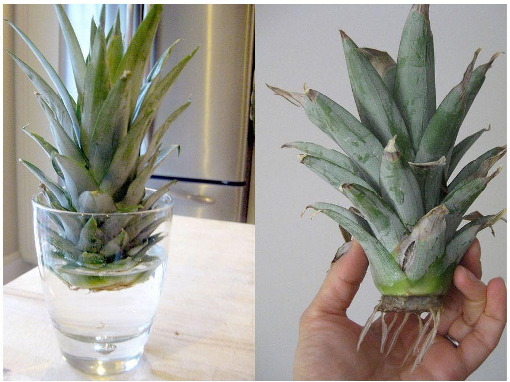 Выращенный ананас в домашних условиях