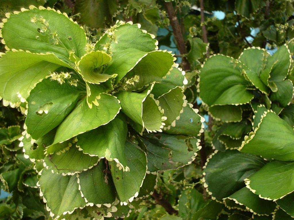 Acalypha hoffmanni