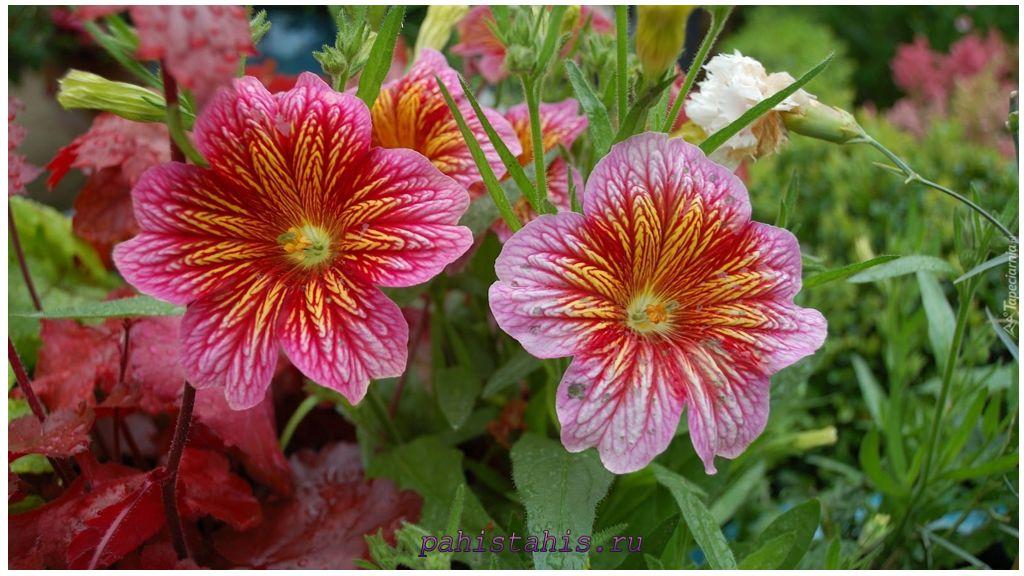 Сальпиглоссис крупноцветковый