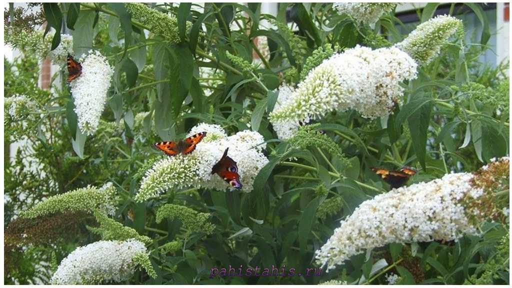 Буддлея белоцветковая (Buddleja albiflora)