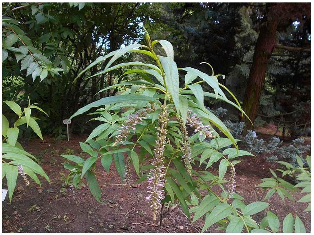 Буддлея японская (Buddleja japonica)