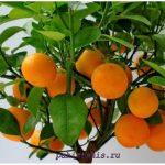 Апельсиновое дерево фото