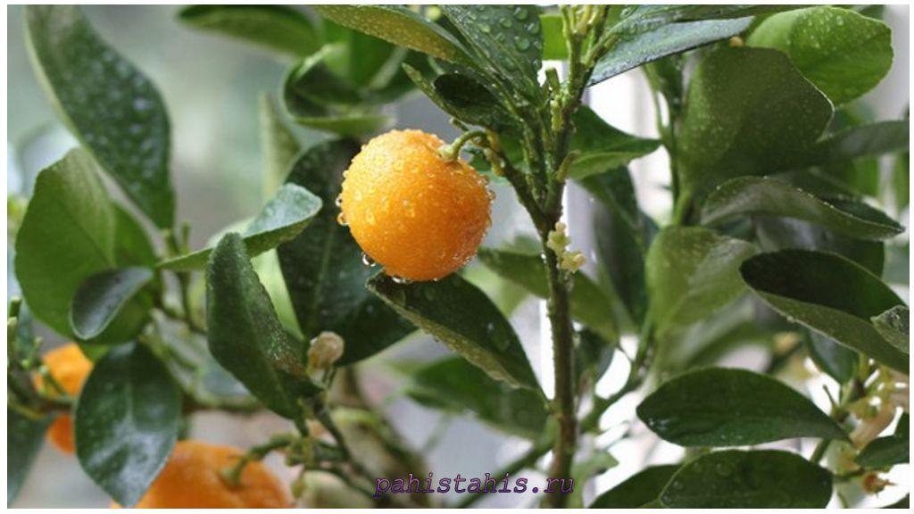 Апельсиновое дерево в домашних условиях