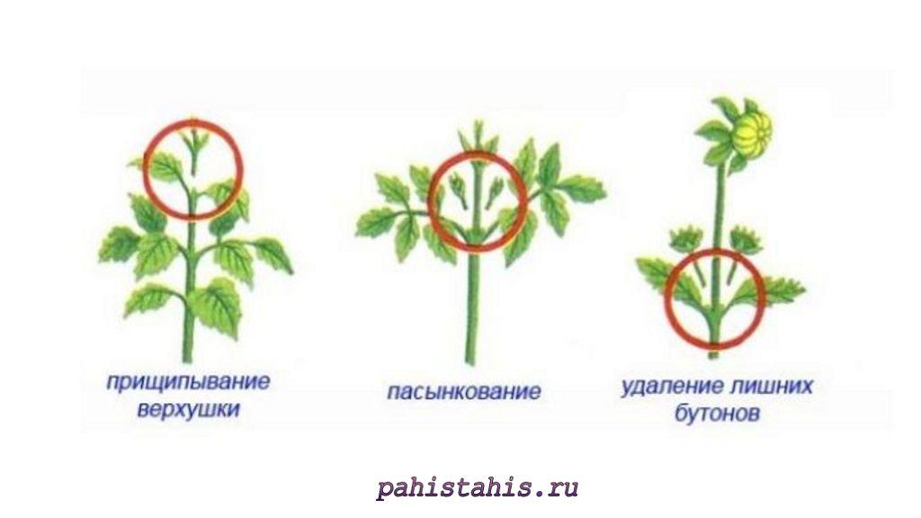 сальпиглоссис прищипывание