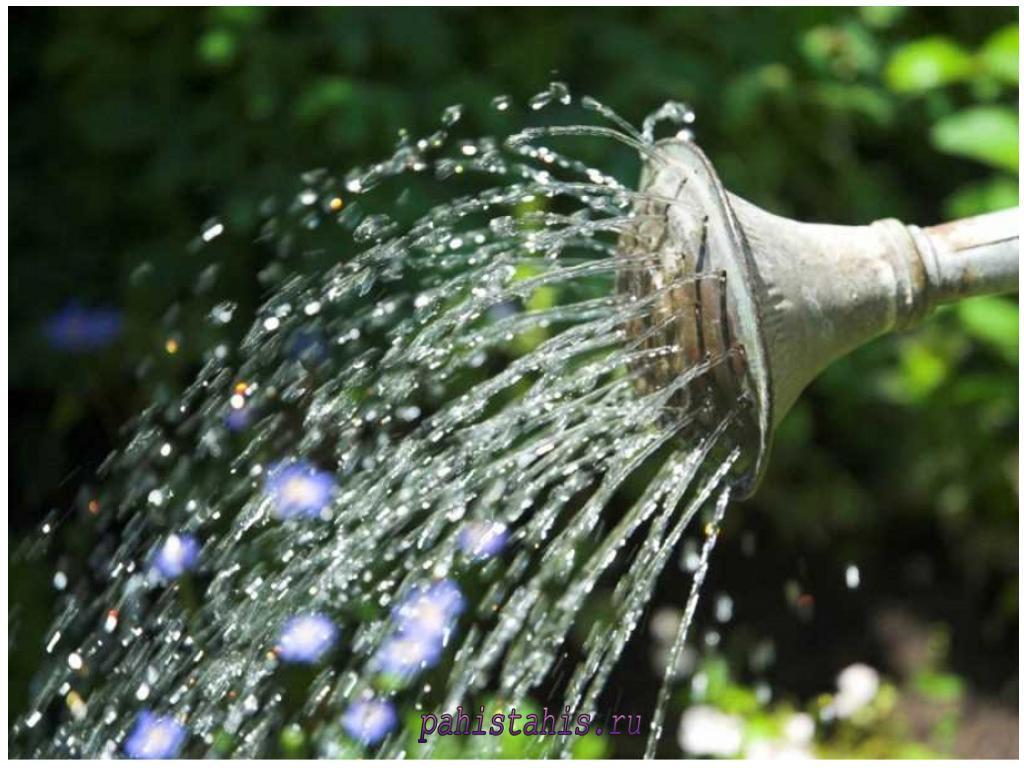 цветы сальпиглоссис полив
