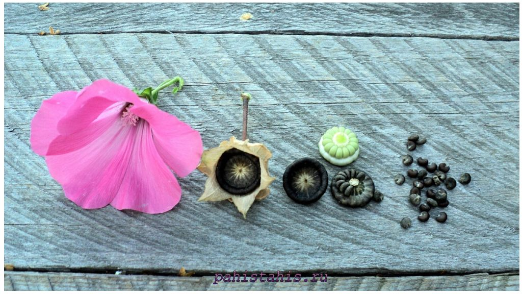 Лаватера семена