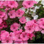 Лаватера: посадка, выращивание и уход в открытом грунте
