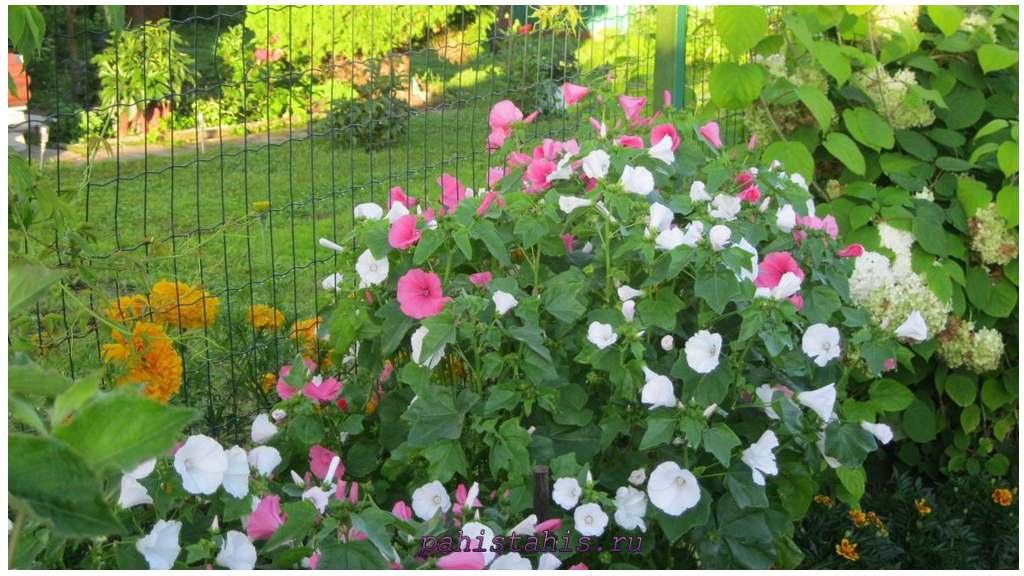 Лаватера садовая