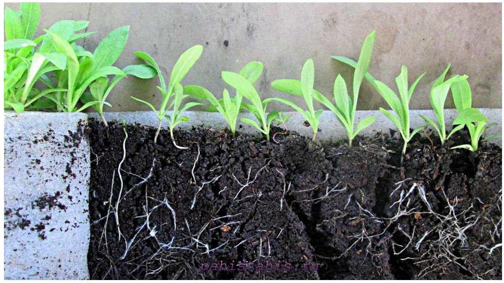 флокс друммонда выращивание рассады