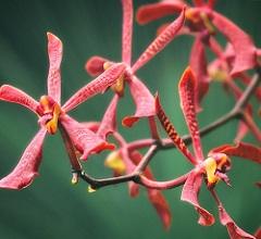 Red Aranda Orchids Closeup