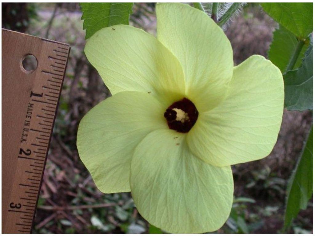 Абельмош цветок