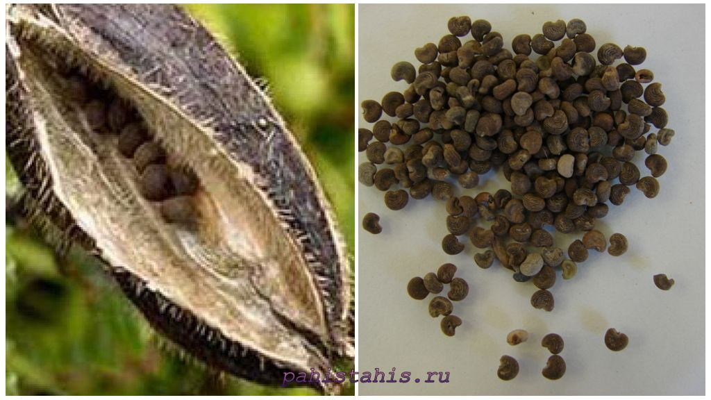 Семена абельмоша
