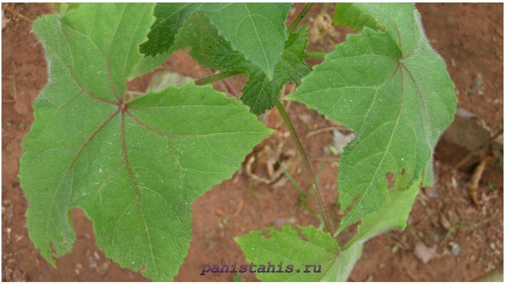 Листья абельмош