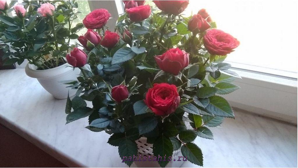 комнатная роза зимой