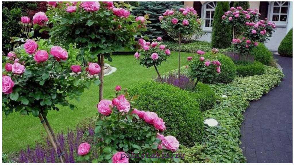 посадка саженцев роз
