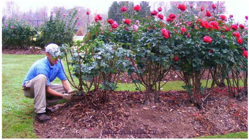 розы после посадки