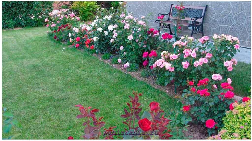 условия посадки роз
