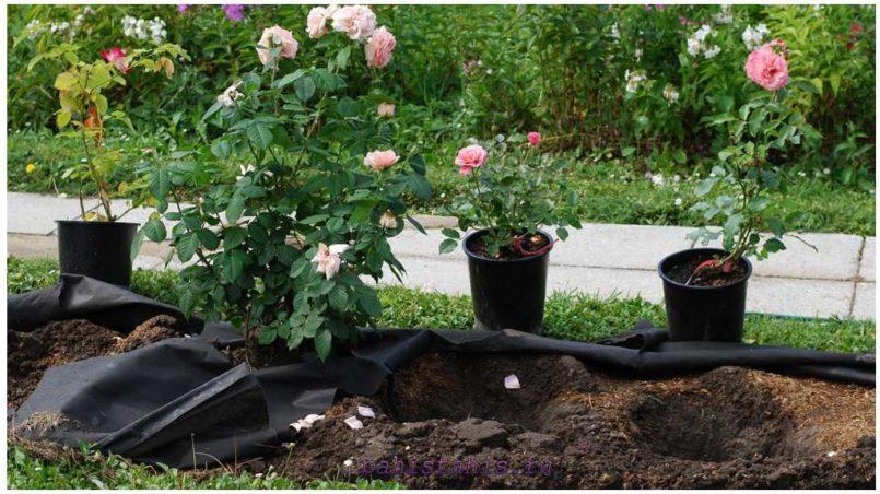 посадка роз открытый грунт
