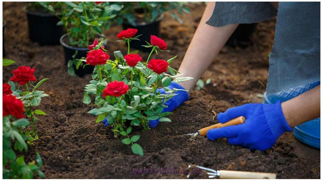 посадка розы в грунт