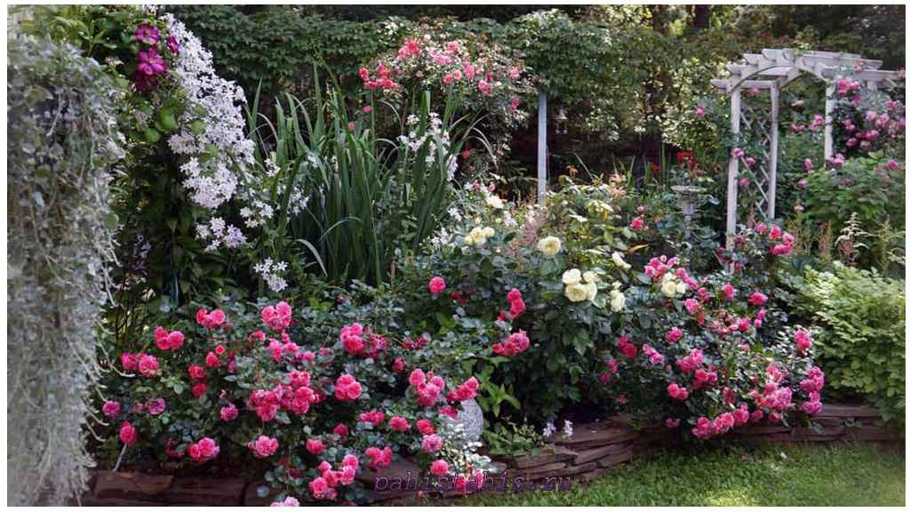 место посадки роз