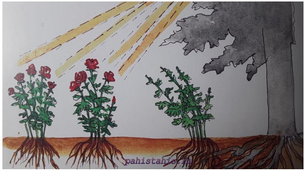 место под розы