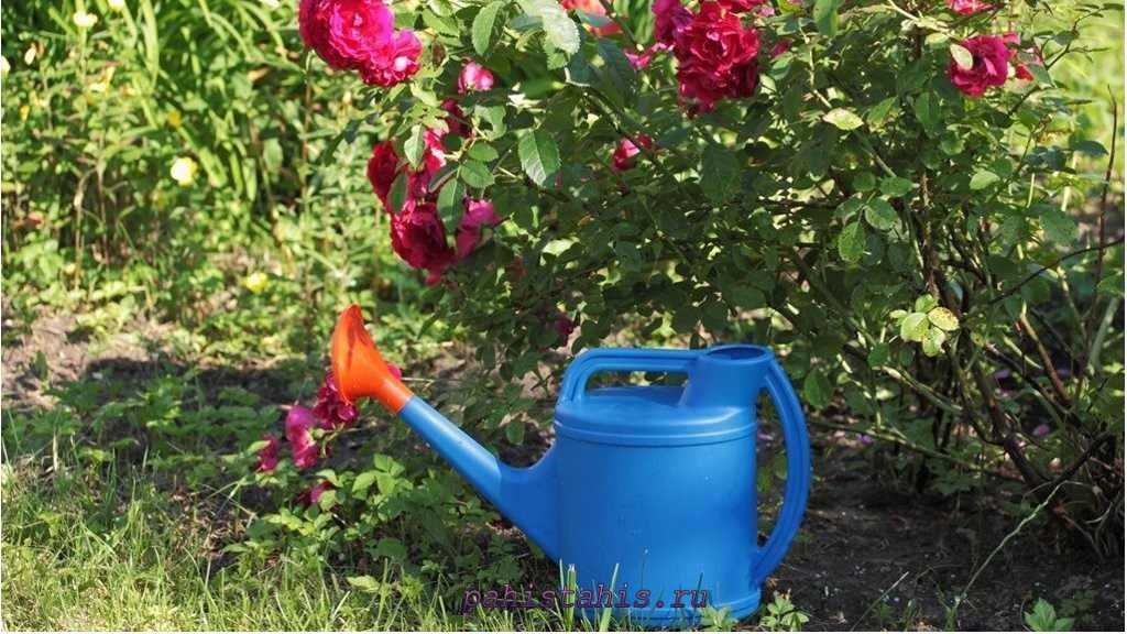 Как полить розу