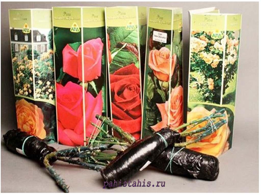 каталог саженцев роз