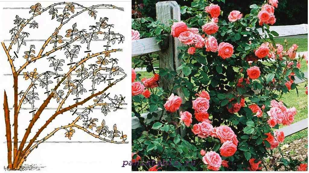роза плетистая клайминг
