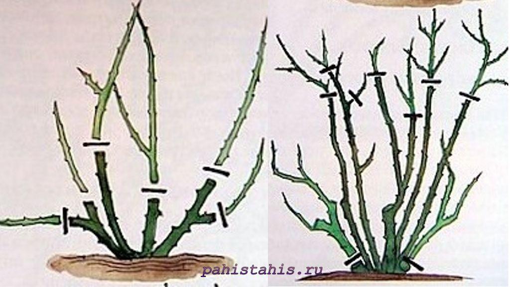 обрезка миниатюрных роз