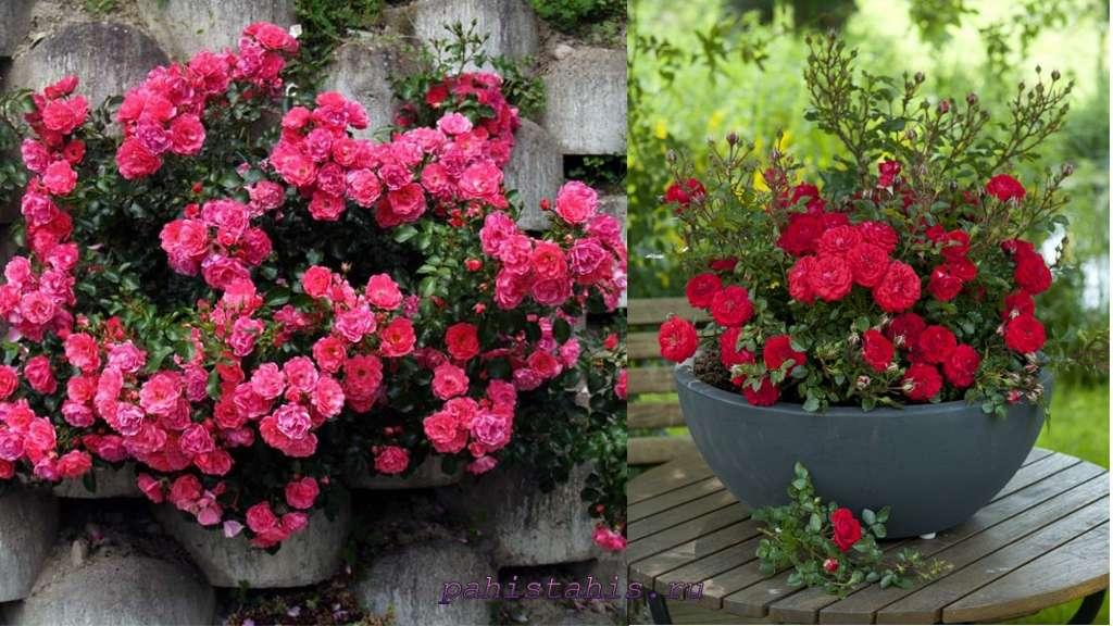 миниатюрные розы фото