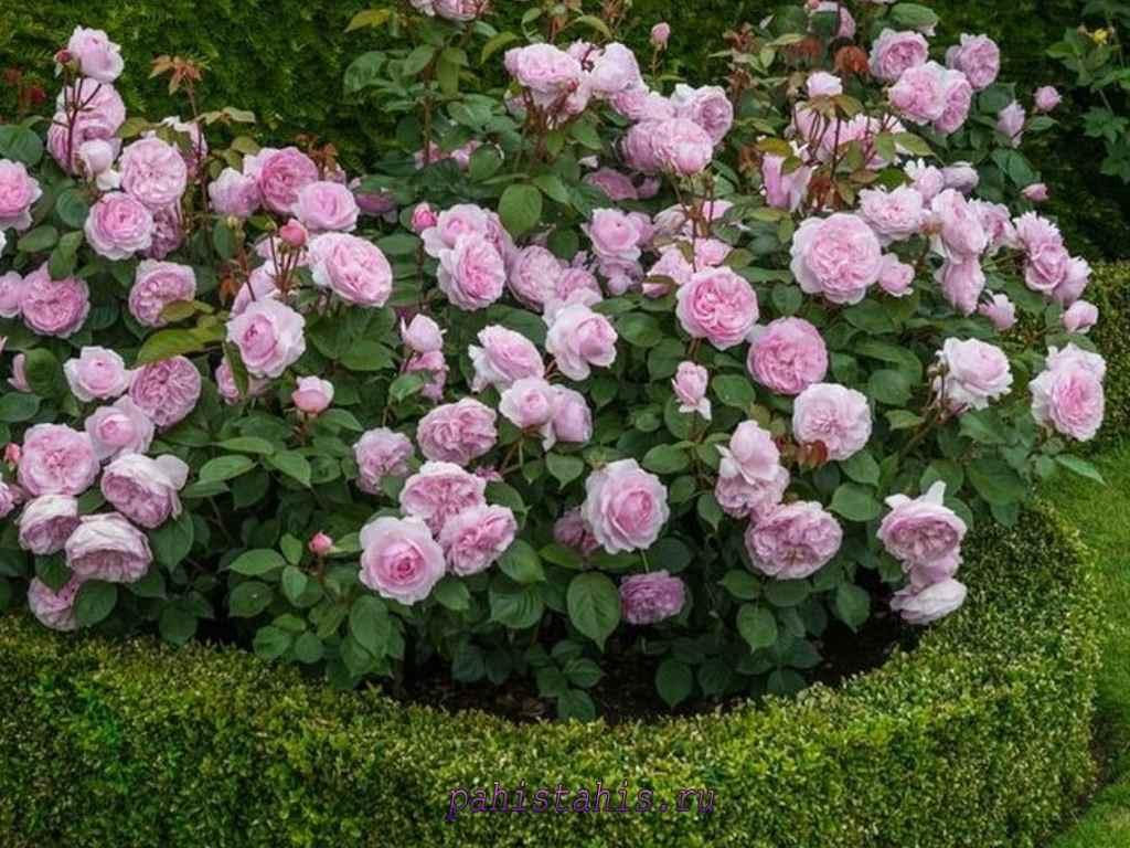 шрабы розы фото