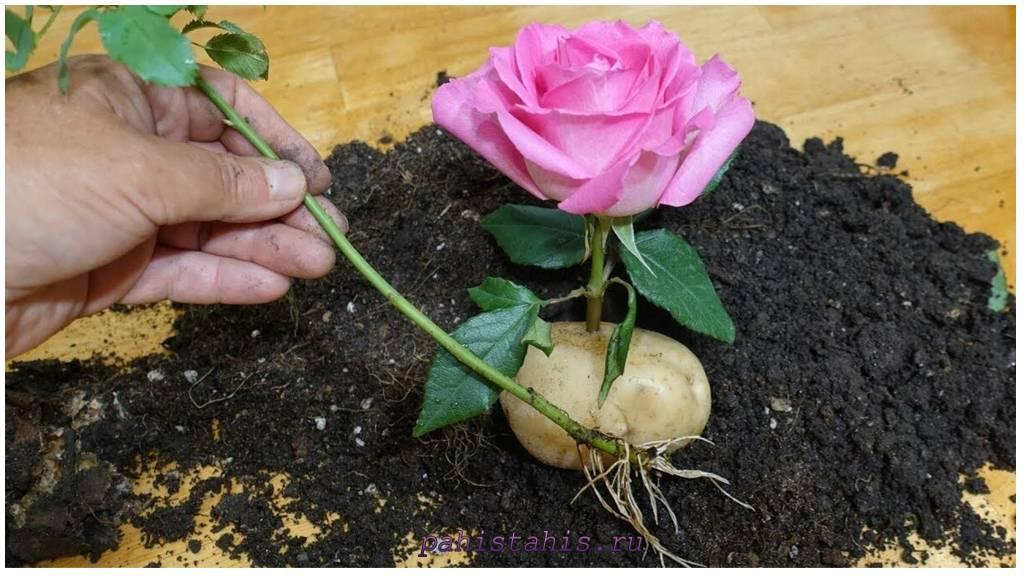 роза черенки картофель