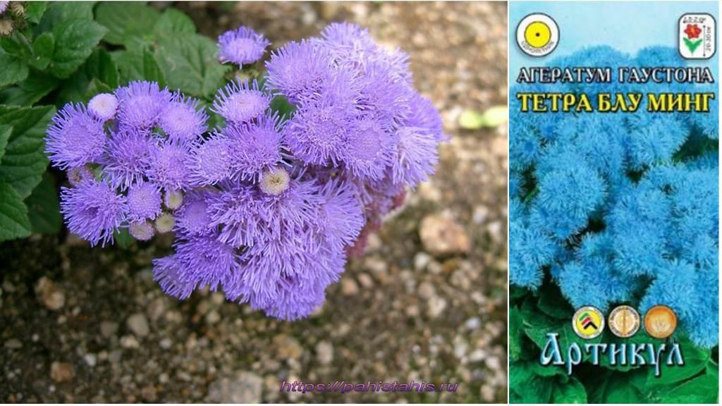 агератум голубой фото
