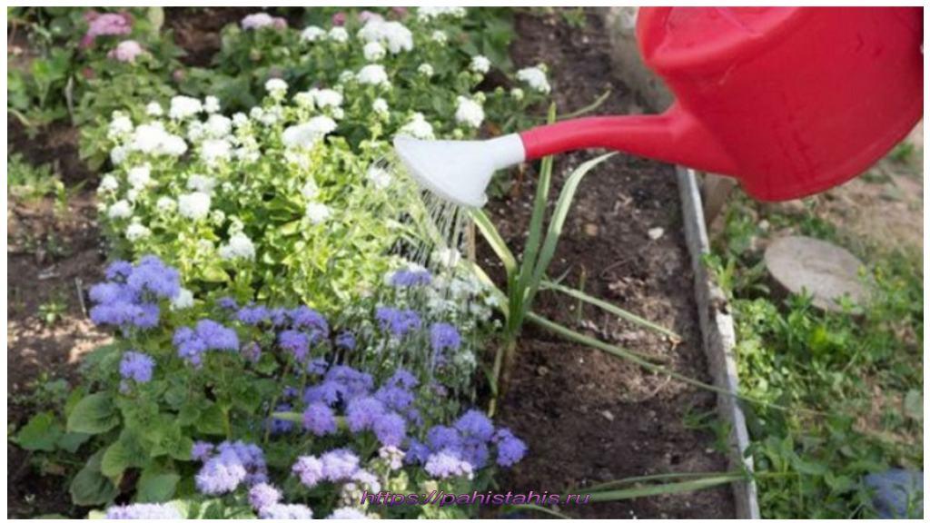 цветок агератум посадка