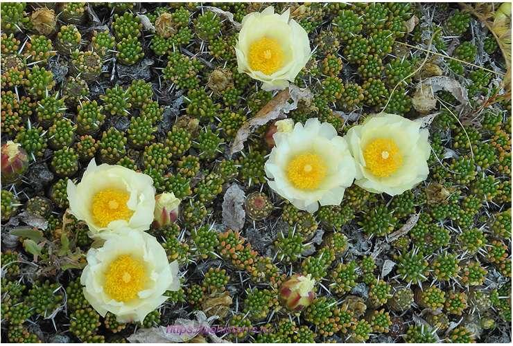 цветы кактус цветущий