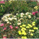 опунции цветущие