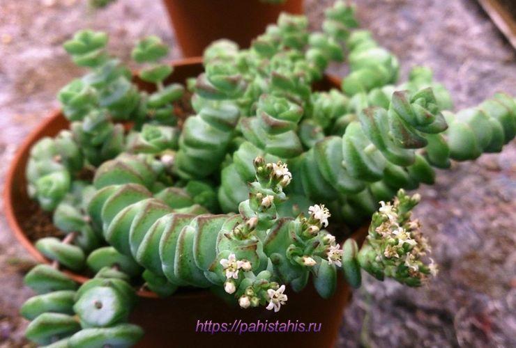 цветок крассула